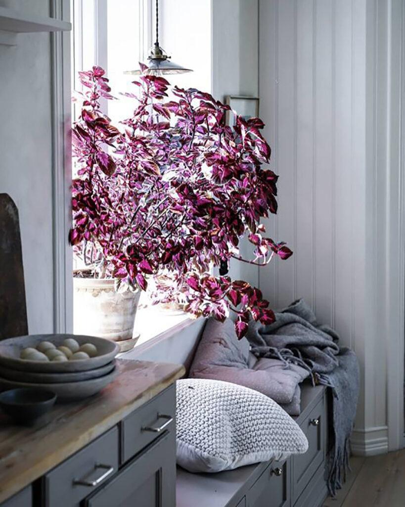 Stor Coleus växt i ett köksfönster