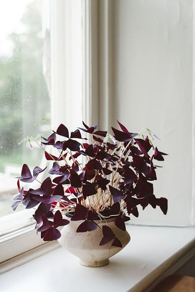 En oxalisväxt som står i ett fönster.