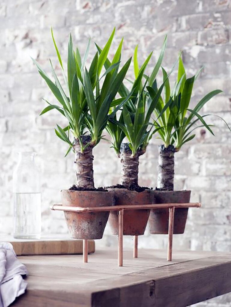 Tre små yuccapalmer i krukor som sitter jämte varann