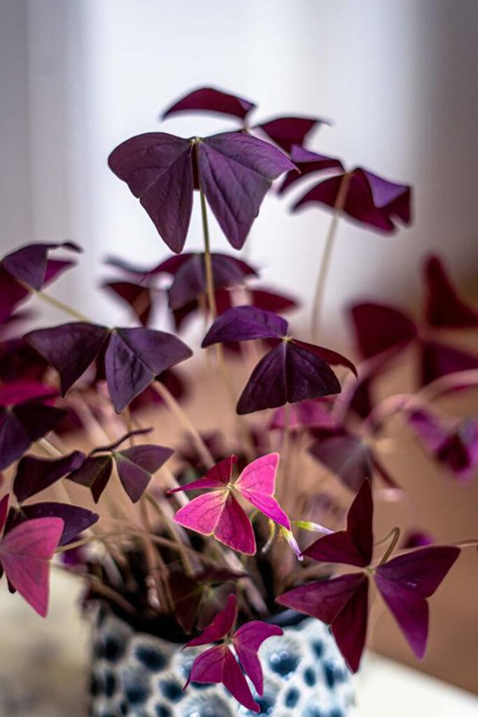 Närbild på en oxalis unika lila blad.